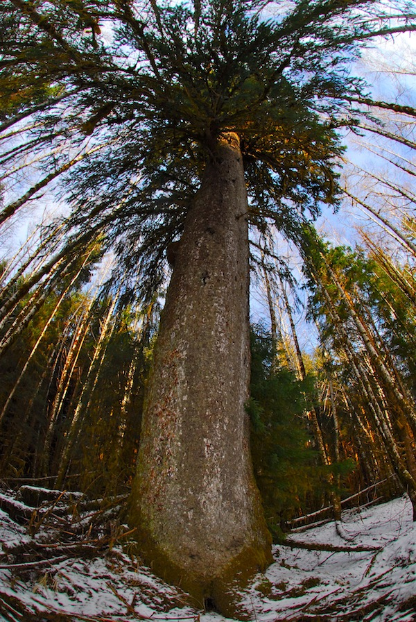 Want to see big trees? You can see some giants on H Gwaii.