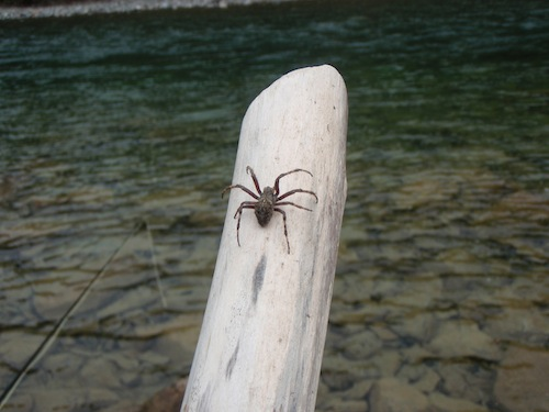 Saw this bad boy crawling along on the rocks, side of the river. Could you imagine taking a break from fishing, leaning back on the rocks and having this sucker climb onto your neck?