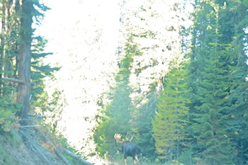 Saw this big bull moose, plus a black bear, while driving to the water on Sunday. This big Shiras ran down the road in front of us and allowed me to snap a few images.