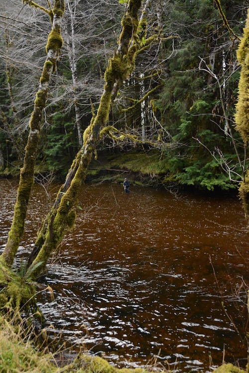 Rainforest fishing for steelhead on a smallish island stream.