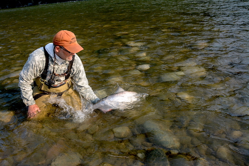 Dana Sturn, founder of Spey Pages, releasing a bright king on the last night of the trip.