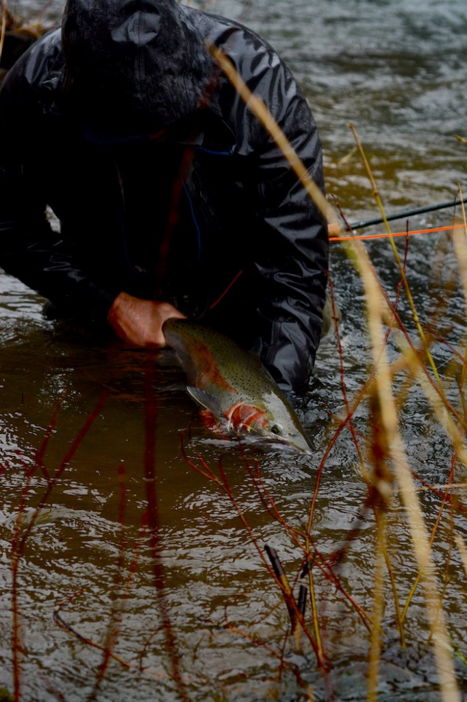 Releasing a fly-caught wild steelhead.